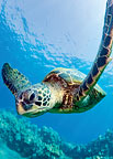 Honu Friend - Hawaiian Everyday Blank Greeting Card