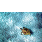 Honu Little One - Hawaiian Everyday Blank Greeting Card