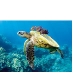 Honu and Friends - Hawaiian Everyday Blank Greeting Card