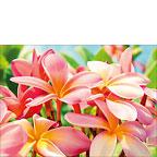 Pua Melia ke Aloha Maui - Hawaiian Everyday Blank Greeting Card