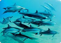 Dolphin Paradise - Hawaiian Thick Premium Postcard