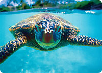 Honu (Turtle) - Hawaiian Thick Premium Postcard