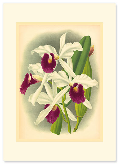 Laelia Orchid - Personalized Vintage Collectible Greeting Card