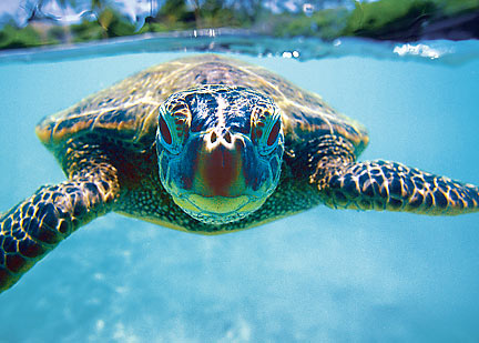 Honu (Turtle) - Personalized Greeting Card