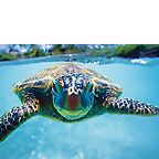 Honu (Turtle) - Hawaiian Everyday Blank Greeting Card